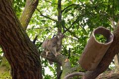 Wolny Loris bawić się na drzewie Zdjęcia Royalty Free