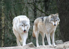 Wolven Stock Foto