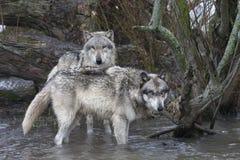 Wolven in de Rivier Stock Foto's