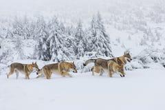 Wolven in de sneeuw Stock Fotografie