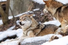 2 wolven in de sneeuw stock foto
