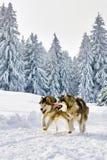 Wolven die in wild de winter sneeuwbos lopen royalty-vrije stock afbeeldingen