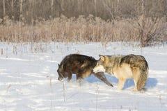 Wolven op jacht stock afbeelding