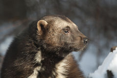 Wolverine. Profile portrait in snow stock photography