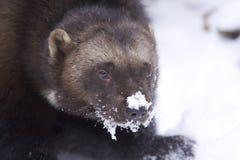 Wolverine Stock Image