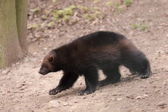Wolverine. The wolverine (gulo gulo) in the wood stock photos