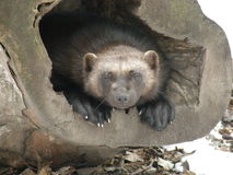 Wolverine. (Gulo gulo) in zoo Stock Images