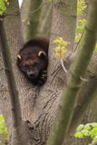 Wolverine. The adult wolverine on the tree royalty free stock photo
