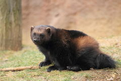 Wolverine. The wolverine sitting on the grass royalty free stock image