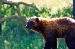 wolverine Fotografia de Stock Royalty Free