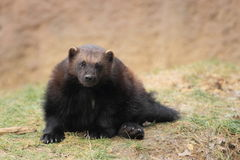 Wolverine. The adult wolverine sitting in the grass royalty free stock photo