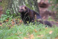 Wolverine Royalty Free Stock Photography