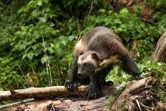 Wolverine. Adult Wolverine Stalking Along Fallen Tree Trunk stock images