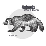 Wolverine. Animals of North America series. Wolverine hand drawing. Animals of North America series. Vintage engraving style. Vector illustration art. Black and Stock Photos