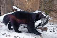 Wolverine beast in the snow, drags the prey, it is a dead crow stock photography