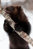 Wolverine on a branch Royalty Free Stock Image