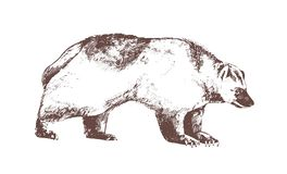 Wolverine or carcajou hand drawn with contour lines on white background. Monochrome drawing of carnivorous wild forest. Animal, dangerous predator. Vector stock illustration