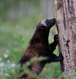 Wolverine climbing Royalty Free Stock Images