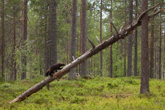 Wolverine climbing an old tree Stock Images