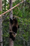Wolverine climbing on tree Royalty Free Stock Photography