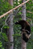 Wolverine climbing Stock Photo