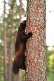 Wolverine climbing up on a tree Royalty Free Stock Image