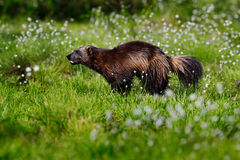 Wolverine in cotton grass in Finland Nature. Running tenacious Wolverine in Finland tajga. Wildlife scene from north of Europe. Da Stock Images
