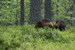Wolverine cubs looking for food Stock Photos