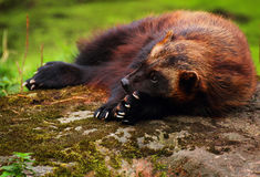 Wolverine Royalty Free Stock Images