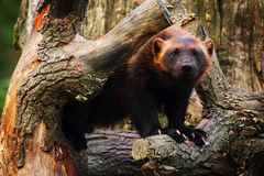 Wolverine. Cute wolverine female standing in a tree royalty free stock photo