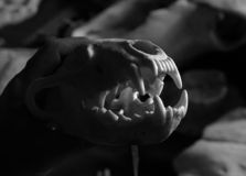 wolverine czaszki Zdjęcie Stock