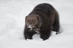 Wolverine. A European wolverine in deer snow, Norway stock image