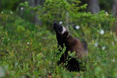 Wolverine in forest Royalty Free Stock Photography
