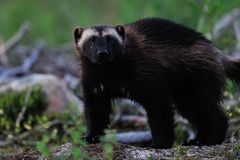 Wolverine in forest Royalty Free Stock Images