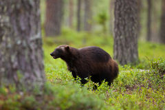 Wolverine in a forest royalty free stock photography