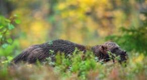 wolverine Frossare, carcajou, skunkbjörn eller quickhatch royaltyfria foton