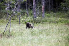 The wolverine in the grass in the taiga. The wolverine  Gulo gulo, also referred to as the glutton, carcajou, skunk bear, or quickhatch in the grass in the taiga Royalty Free Stock Image