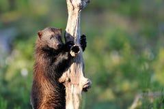Wolverine grimpent vers le haut à un arbre Images libres de droits