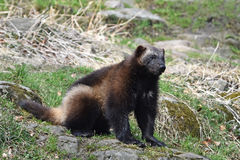 Wolverine (gulo de gulo) Image stock