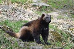 Wolverine (gulo del gulo) Immagine Stock