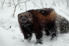 Wolverine (Gulo gulo). Wolverine in the snow in wintertime Stock Image