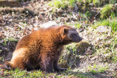 Wolverine, Gulo gulo. Sitting on a meadow also called  glutton, carcajou, skunk bear, or quickhatch Stock Image
