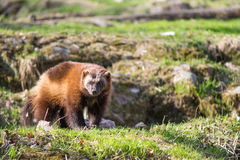 Wolverine, Gulo gulo. Sitting on a meadow also called  glutton, carcajou, skunk bear, or quickhatch Royalty Free Stock Photography