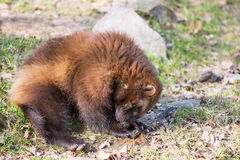 Wolverine, Gulo gulo. Sitting on a meadow also called  glutton, carcajou, skunk bear, or quickhatch Stock Images