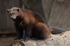 Wolverine Gulo gulo. Also known as the glutton Royalty Free Stock Photo
