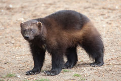 Wolverine & x28;Gulo gulo& x29;. Wolverine & x28;Gulo gulo& x29;, also known as the glutton Stock Photo