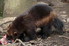 Wolverine (Gulo gulo), also known as the glutton. Wildlife animal stock photo