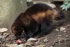 Wolverine (Gulo gulo), also known as the glutton. Stock Photo