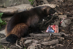 Wolverine (Gulo gulo), also known as the glutton. Wildlife animal stock image