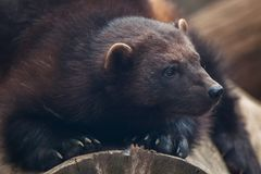 Wolverine Gulo gulo. Also known as the glutton Royalty Free Stock Photography
